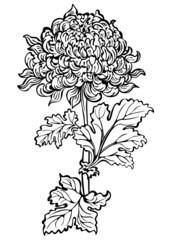 Chrysanthemum flower , black and white