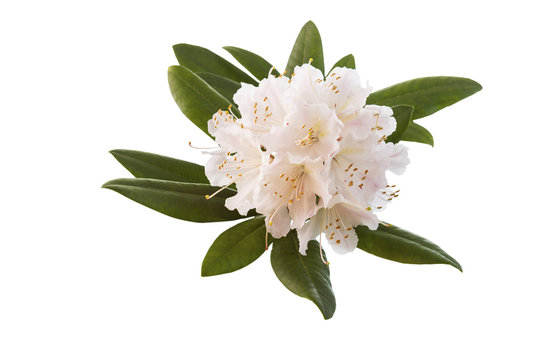 White and Pink Rhododendron flower in Full Seasonal Bloom