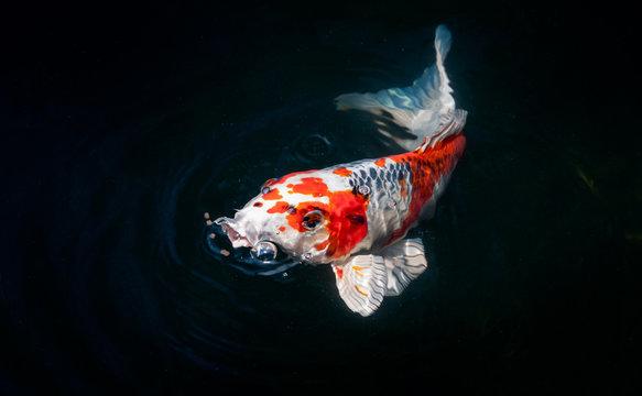 beautiful koi fish eating food