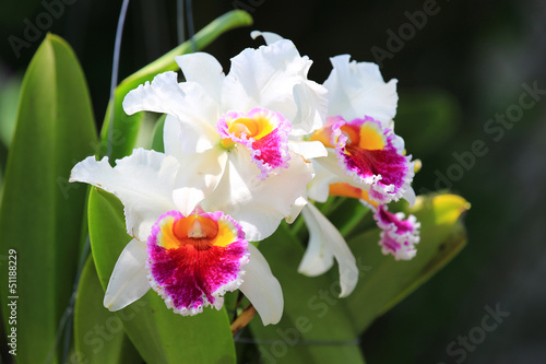 white cattleya orchid flower zdj stockowych i obraz w. Black Bedroom Furniture Sets. Home Design Ideas
