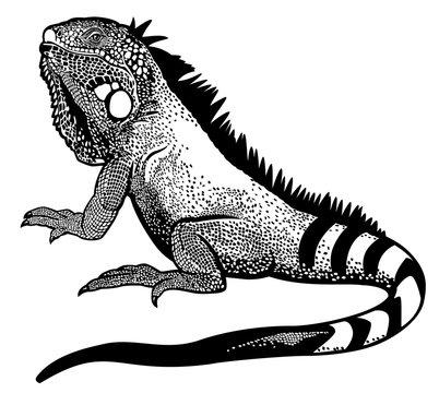 green iguana black white