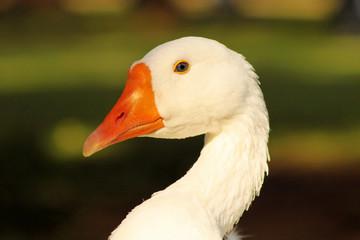 Striking Close-up Goose Head