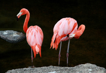 Couple of red American flamingos at water.