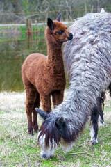 Alpaca (Vicugna pacos or Lama pacos) baby