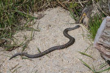 Adder Snake