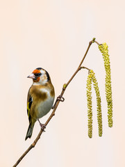 Goldfinch on Catkins