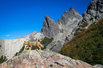 Wall Mural - Gray fox at Mount Lopez, Patagonia, Argentina
