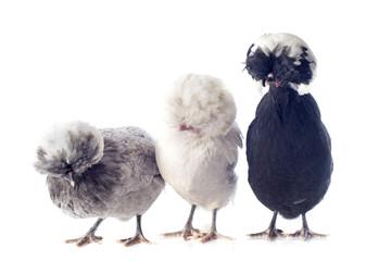 poules hollandaises