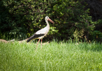 stork on spring grass