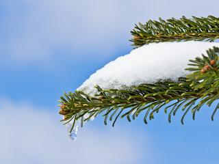 Tannenzweig mit Schnee und Eistropfen