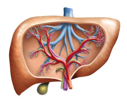 Human Liver (Leber Mensch)
