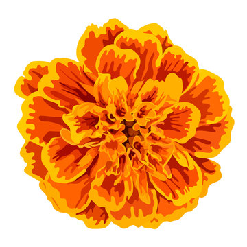 Orange marigold flower vector
