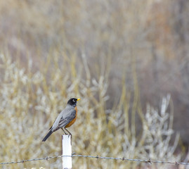Happy Spring Robin Sitting on Fence Post