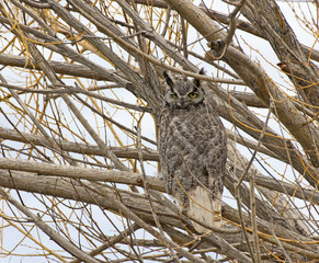 Great-horned Owl Looking From Tree