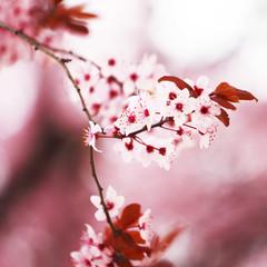 pink sacura
