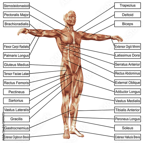 "high resolution 3d human muscles anatomy"" stock photo and royalty, Muscles"