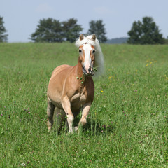 Fototapete - Beautiful haflinger running in freedom while eating grass