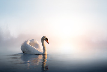 Photo sur Aluminium Cygne Art Swan floating on the water at sunrise of the day