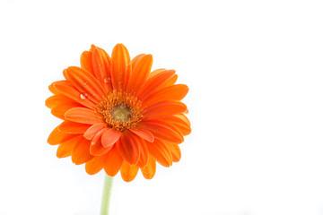 Gerber Flower. Orange gerbera flower close up photo.