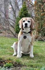 An old beagle dog.