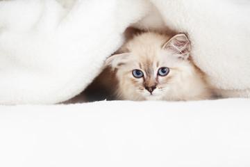 Wall Mural - Siberian kitten
