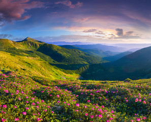 Wall Mural - Magic pink rhododendron flowers in the mountains. Summer sunrise