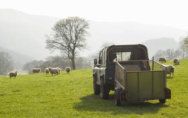 Healthy sheep and livestock, Idyllic Rural, UK