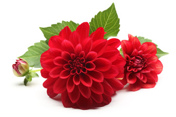 Wall Murals Dahlia red dahlia flower