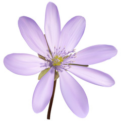 Purple anemone flower with squares background