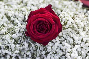 Rose und Schleierkraut