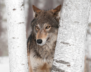 Grey Wolf (Canis lupus) Ears Back Between Trees
