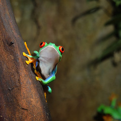 Fototapete - red-eye frog  Agalychnis callidryas in terrarium