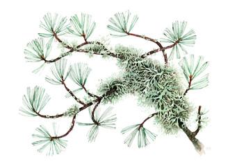 Pino cembro - Pinus cembra -Bosco Alevè