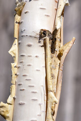 Canvas Prints Birch Grove Close-up of a birch tree trunk
