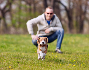 Running beagle puppy on the walk