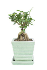 small single ficus tree isolated white