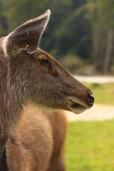 Female deer, Khaoyai, Thailand