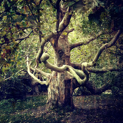 Old tree sycamore