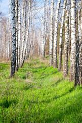 Spoed Foto op Canvas Berkbosje birch forest in the spring