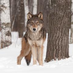 Fototapete - Grey Wolf (Canis lupus) Looks Forward