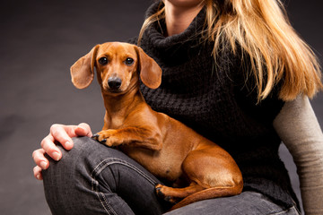 Portrait of Cute Dachshund Dog On Owner's Knees