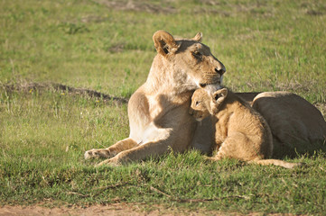 Löwe mit Löwenbaby