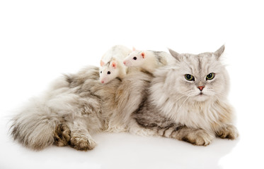 cat with rats. isolated on white