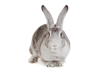 Big grey rabbit on a white background