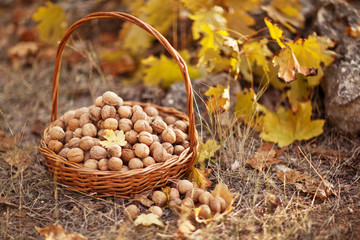walnuts filbert in basket in the forest