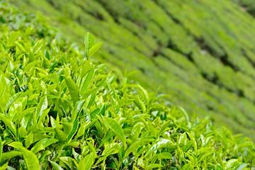 Wall Mural - tea leaf