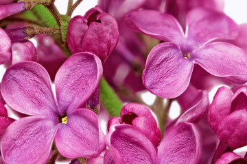 Papiers peints Macro Beautiful Bunch of Lilac close-up