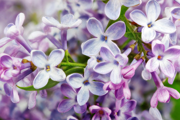 Printed kitchen splashbacks Macro Beautiful Bunch of Lilac close-up