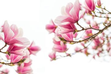 Magnolienblüten Frühlingszeit