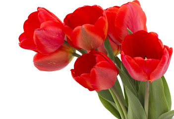 Bunch of red tulips on white background